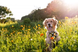 dog photo shoot dorthea dix sunflowers