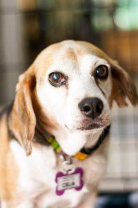 beagle help animal rescues