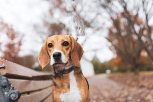 Beagle on bench