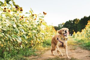 golden retriever in sunflowers at dorthea dix park