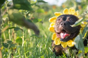 pitbull sunflower photo shoot