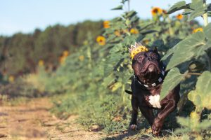 pitbull in sunflowers