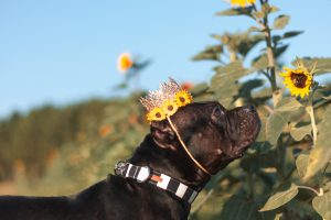 pitbull in sunflowers Dothea Dix Park