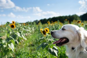 golden retriever in sunflowers