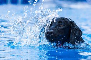 black lab in pool