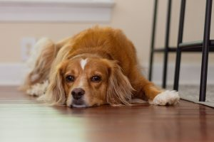 Spaniel resting