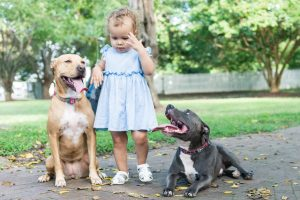 two pit bulls with toddler